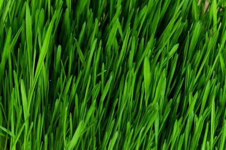 Close-up of fresh green wheat grass for backgrounds