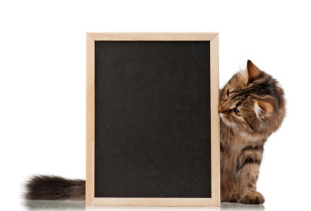 peeking: Pretty young cat with a blackboard over white background