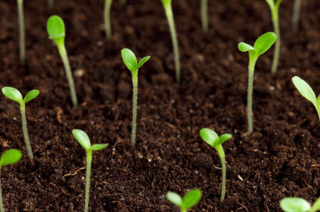 Close-up of green seedling growing out of soil Stock Photo - 12325894