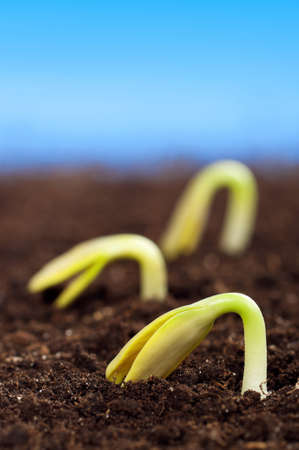 Close-up of seedling of a sunflower growing out of soil Stock Photo - 12325872