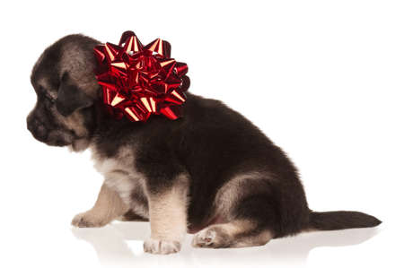 Cute puppy of 3 weeks old with red bow on a white background Stock Photo - 12326017