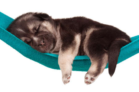 miniature dog: Cute sleeping puppy of 3 weeks old in a hammock on a white background Stock Photo