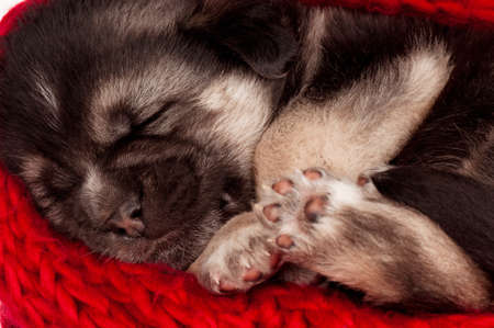 Close-up of cute sleeping puppy of 3 weeks old photo