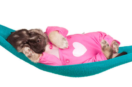 Cute sleeping puppy of 3 weeks old in a hammock on a white background Stock Photo - 12562263
