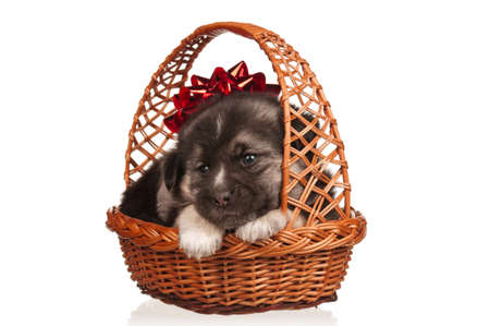 Cute puppy in a wicker basket on a white background Stock Photo - 12562347