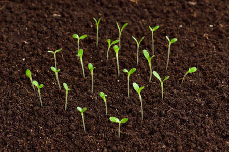 Close-up of green seedling growing out of soil Stock Photo - 12562112