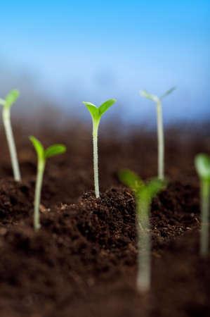 germinados: Primer plano de las pl�ntulas verdes que crecen fuera del suelo