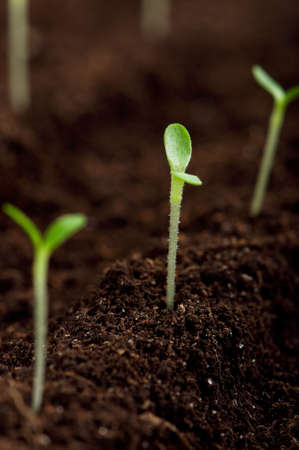 Close-up of green seedling growing out of soil Stock Photo - 12562176