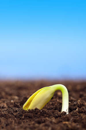 burgeon: Close-up of seedling of a sunflower growing out of soil