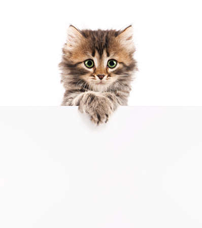 Pretty kitten peeking out of a blank sign, isolated on white background photo