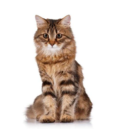 Mignon chat sibérien jeune sur fond blanc Banque d'images