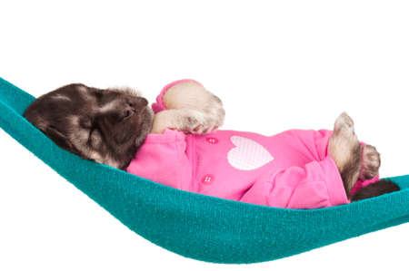 Cute sleeping puppy of 3 weeks old in a hammock on a white background Stock Photo