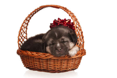 Cute puppy in a wicker basket on a white background photo