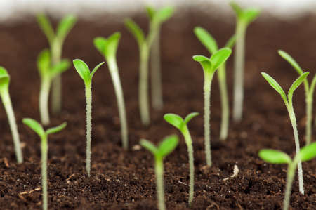 Close-up of green seedling growing out of soil Stock Photo - 12561775