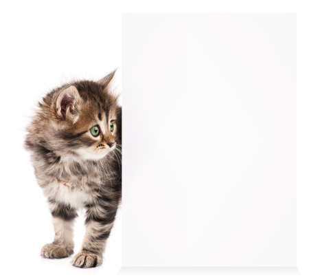 looking behind: Pretty kitten peeking out of a blank sign, isolated on white background Stock Photo