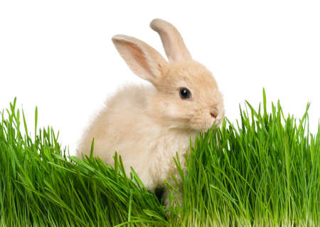 cut grass: Portrait of adorable rabbit in green grass on white background