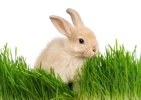 Portret van schattige konijn in het groene gras op witte achtergrond