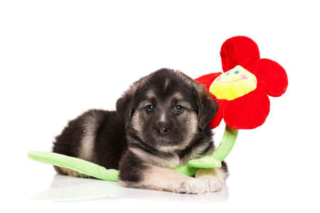 Cute puppy of 1,5 months old with toy flower on a white background Stock Photo - 12695174