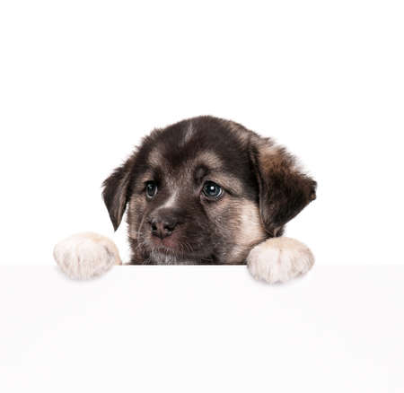 peep out: Cute puppy of 1,5 months old with empty board on a white background