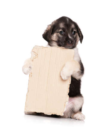 grievous: Cute puppy of 1,5 months old with a cardboard on a white background