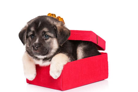 Cute puppy of 1,5 months old in gift box on a white background Stock Photo - 12696723