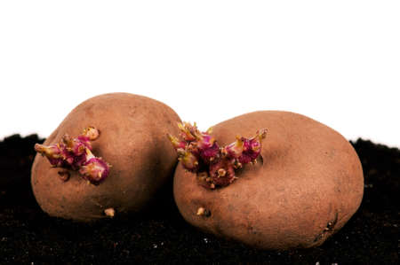 Old potatoes with sprouts in soil isolated on white background photo