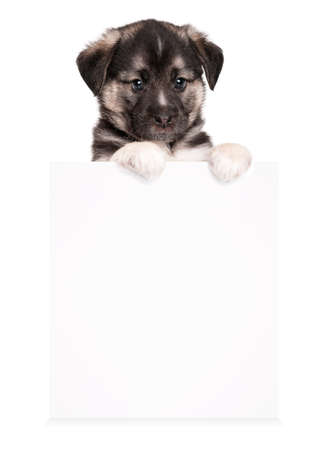Cute puppy of 1,5 months old with empty board on a white background Stock Photo - 12696902