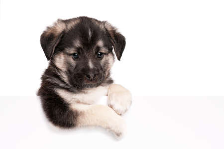 Cute puppy of 1,5 months old with empty board on a white background Stock Photo - 12696611