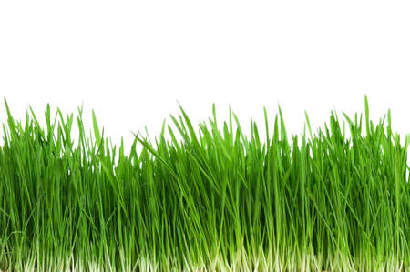 blades of grass: Fresh green wheat grass isolated on white background