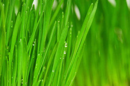 Fresh green wheat grass with drops dew photo