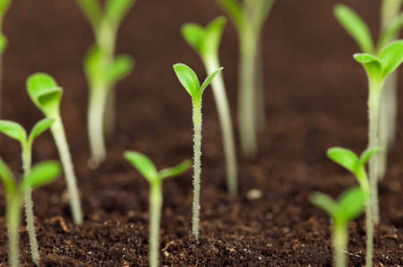 burgeon: Close-up of green seedling growing out of soil