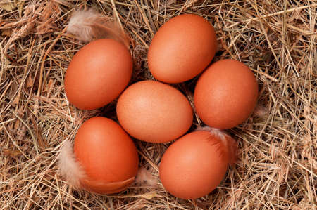 incubation: Fresh chicken eggs in the natural nest of hay