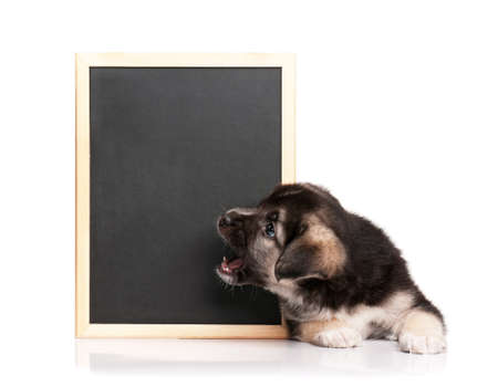 closeup puppy: Cute puppy of 1,5 months old with a blackboard over white background Stock Photo