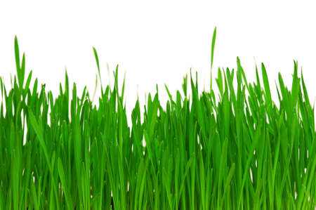Fresh green wheat grass isolated on white background Stock Photo - 12901107