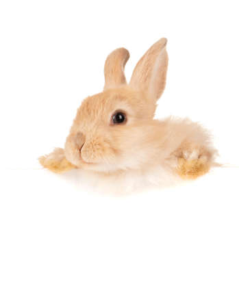Portrait of adorable rabbit empty white board Stock Photo - 13103388