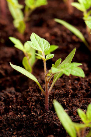 thrive: Close-up of green seedling of tomatoes growing out of soil