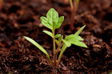 Close-up of green seedling of tomatoes growing out of soil photo