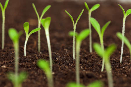 Close-up of green seedling growing out of soil Stock Photo - 13103601