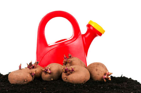 Old potatoes with sprouts in soil isolated on white background Stock Photo - 13103836
