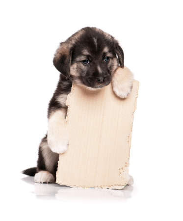 pauper: Cute puppy of 1,5 months old with a cardboard on a white background
