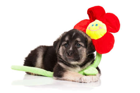 weenie: Cute puppy of 1,5 months old with toy flower on a white background Stock Photo