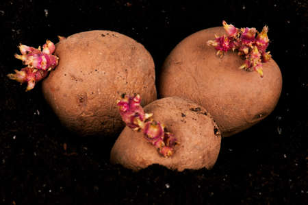 Old potatoes with sprouts in black soil photo