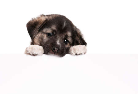 Cute puppy of 1,5 months old with empty board on a white background Stock Photo - 13143674