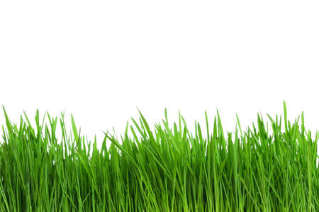 grass close up: Fresh green wheat grass isolated on white background