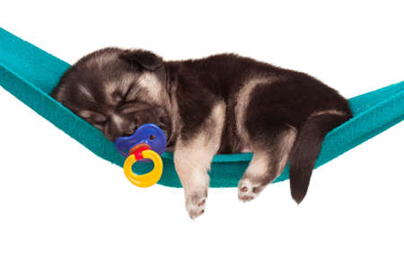 cuddly baby: Cute sleeping puppy of 3 weeks old in a hammock on a white background Stock Photo
