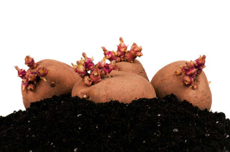 Old potatoes with sprouts in soil isolated on white background Stock Photo - 13221351