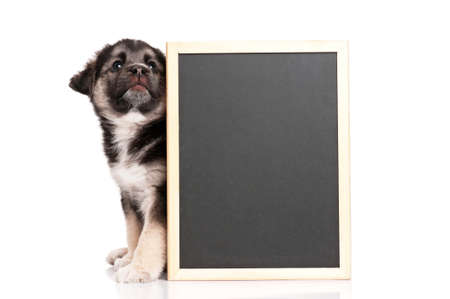 card making: Cute puppy of 1,5 months old with a blackboard over white background Stock Photo
