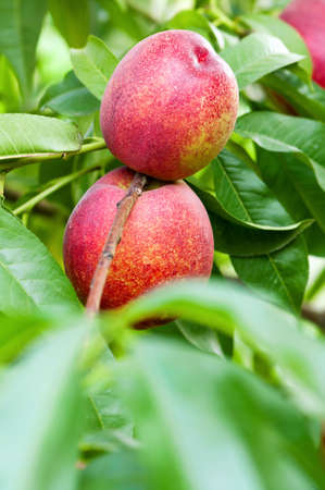 Ripe peaches hang on a tree between green leaves Stock Photo - 13221517