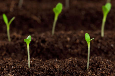 Close-up of green seedling growing out of soil Stock Photo - 13434206