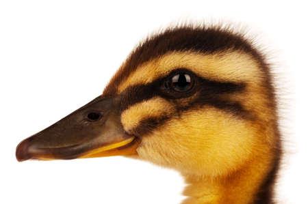 Cute domestic duckling isolated on white background photo